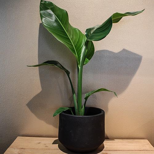 Groene plant in pot   Groot